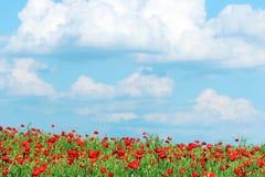 鸦片开花草甸和蓝天与云彩 免版税库存照片