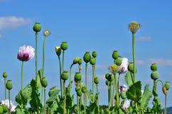 鸦片植物罂粟 库存照片