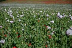 鸦片植物荚的领域 库存图片