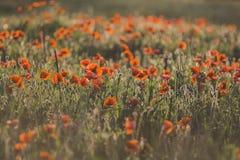 鸦片的领域在晚上开花在背后照明的日落 库存图片
