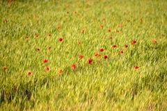鸦片盖的草甸在日落 Springday在普罗旺斯 免版税库存照片