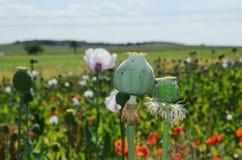 鸦片站立在领域的植物荚 库存照片