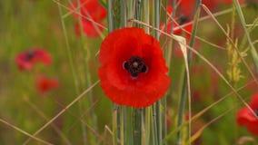 鸦片红色的花田