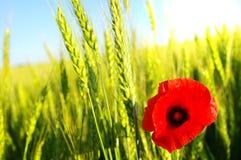 鸦片红色麦子 免版税库存照片