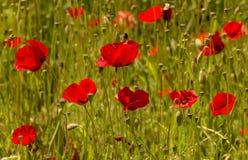鸦片罂粟属rhoeas在草甸增长 免版税库存照片