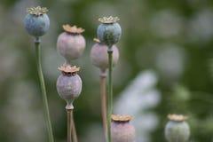 鸦片罂粟植物 免版税库存图片