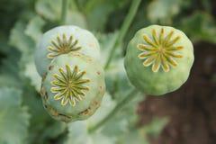 鸦片罂粟种子头 免版税库存照片