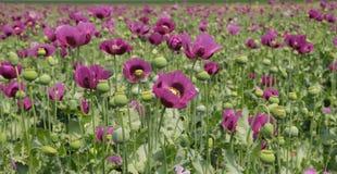 鸦片罂粟,罂粟的领域 免版税库存图片