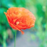 鸦片美丽的照片在绽放的在绿色草甸背景 库存图片