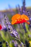 鸦片花和淡紫色 库存图片
