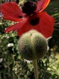 鸦片花和种子胶囊 免版税库存图片