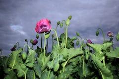 鸦片花和芽在雨前 库存图片