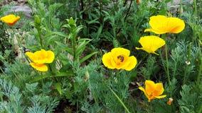 鸦片花和蜜蜂 库存图片