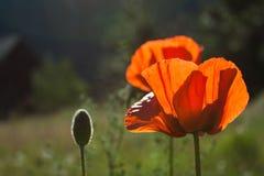 鸦片花和词根在领域在科罗拉多 免版税图库摄影