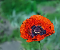 鸦片花在庭院里 库存照片