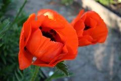 鸦片花在庭院里 免版税图库摄影