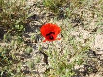 鸦片花在沙漠 免版税图库摄影