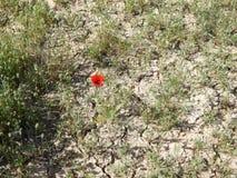 鸦片花在沙漠 免版税库存图片