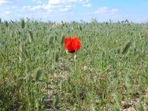鸦片花在沙漠 库存照片