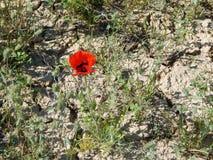 鸦片花在沙漠 免版税库存照片