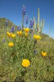鸦片花在蓝天、柱仙人掌仙人掌和沙漠在春天开花在Picacho峰顶在图森, AZ北部的国家公园 免版税图库摄影