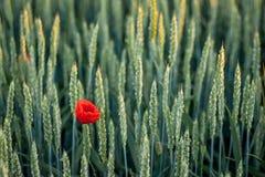 鸦片花在麦子耳朵中的 麦子耳朵纹理 夏天 免版税库存照片
