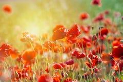 鸦片花或罂粟属rhoeas鸦片与光 图库摄影