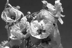 鸦片花束 记忆天的红色花标志 黑白背景照片 库存照片