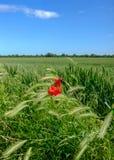 鸦片花看的生长的被隔绝的看法在早期的庄稼麦子的一个大领域 免版税图库摄影