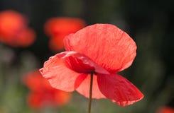 鸦片花绽放在有浅景深的庭院里 免版税库存照片