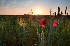 鸦片花,在领域的麦子 免版税库存照片