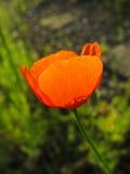 鸦片花,春天,猩红色,开花的特写镜头 免版税图库摄影