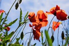 鸦片领域,鸦片,鸦片,花的一个美好的领域 图库摄影