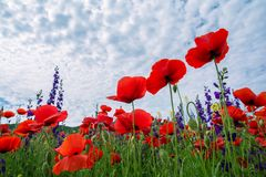 鸦片,反对天空的红色花的一个美好的领域 底视图 库存图片