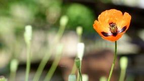 鸦片,在途中的另一芽 红色,嫩,空气,给与生命鸦片 免版税库存照片