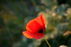 鸦片,沐浴在日落焕发,春天在普罗旺斯,法国 库存照片