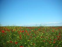 鸦片 在干草原的鸦片 免版税库存照片