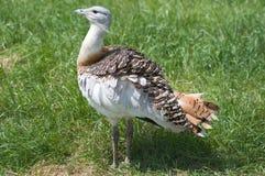 鸨鸟极大的奥蒂斯tarda 库存照片