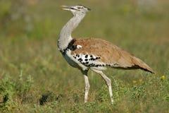 鸨鸟etosha kori纳米比亚国家公园 库存图片