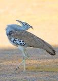 鸨鸟kori 库存图片