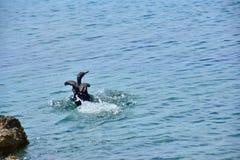 鸬鹚亚得里亚海黑色翼 免版税库存照片