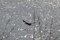 鸬鹚和闪耀的湖 免版税图库摄影