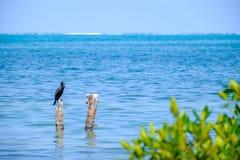 鸬鹚在加勒比 库存图片