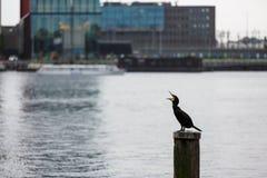 鸬鹚在阿姆斯特丹 免版税库存照片