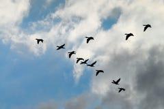 鸬鹚鸬鹚羰飞行高在V形成的小组剪影反对多云天空 鸟类迁徙概念 库存照片