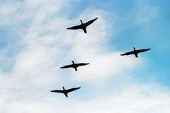鸬鹚鸬鹚羰飞行高在V形成的小组剪影反对多云天空 鸟类迁徙概念 图库摄影
