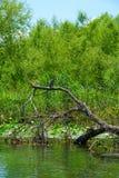 鸬鹚, Skadar湖 免版税库存照片