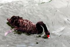 黑鸭天鹅红色鼻子 免版税库存图片