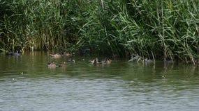 鸭子、野鸭、老傻瓜和天鹅在芦苇在一个美丽的湖 图库摄影