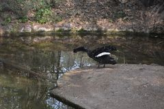 鸭子一个近景  免版税库存照片